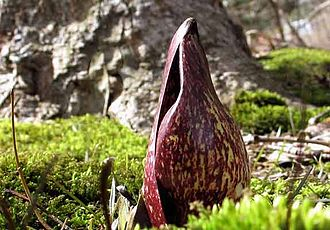 Skunk cabbage - The bloom of the Eastern Skunk Cabbage, Symplocarpus foetidus, in the spring, before leafing
