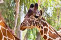 Safari 210616 Giraffe 01.jpg