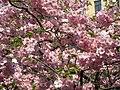 Saint Petersburg. Chinese Garden. Sakura tree2021 14.jpg