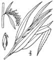 Salix × pendulina BB-1913.png