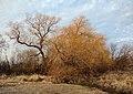 Salix babylonica - Rouge Park.jpg