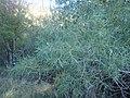 Salix exigua kz05.jpg