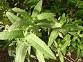 Salvia canariensis - Berlin.jpg