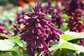 Salvia splendens Empire Purple 0zz.jpg