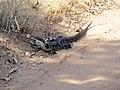 Sand Monitor (Varanus gouldii) (8236023719).jpg