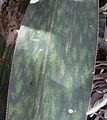 Sansevieria sp. Monte Mape - leaf margin (5356793802).jpg