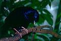 Satin Bowerbird (Ptilonorhynchus violaceus) male (9876264985).jpg