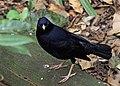 Satin Bowerbird Ipswich Queensland Australia.jpg