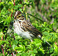 Savannah Sparrow, Newfoundland.jpg