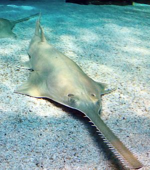 Sawfish - Largetooth sawfish, Pristis pristis (above),  Green sawfish, Pristis zijsron (below)