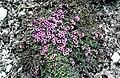 Saxifraga oppositifolia L. (7582698912).jpg