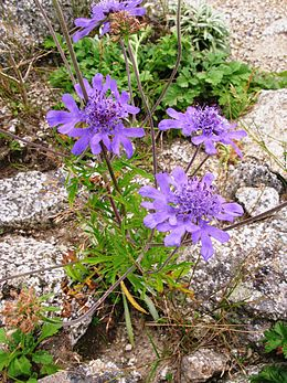Scabiosa japonica var. alpina 3