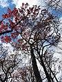 Scarlet Oak (30486684554).jpg