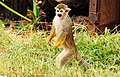 Scent Marking Messenger – Squirrel Monkey, Saimiri.jpg