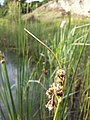 Schoenoplectus lacustris sl16.jpg
