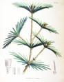Sciadopitys verticillata SZ101.png