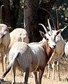 Scimitar-horned Oryx (2701754088).jpg