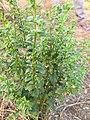 Scoparia dulcis, Kallurukki, Meenangani, licorice weed, goatweed, scoparia-weed 2.jpg