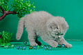 Scottish fold , straight 07.JPG