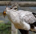 Secretary Bird (6022353153).jpg