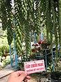 Sedum morganianum.jpg