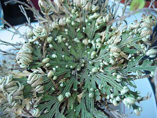 <i>Selaginella lepidophylla</i> species of plant