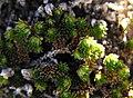Selaginellaeremophila.jpg
