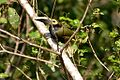 Selenidera spectabilis -Panama-8c.jpg