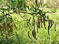Senna septemtrionalis, loof en peule, Serene Valley, a.jpg