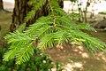 Sequoia sempervirens 05.jpg