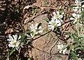 Service berry Amelanchier utahensis.jpg