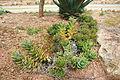 Ses Salines - Botanicactus - Aloe perfoliata 02 ies.jpg