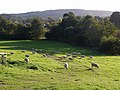 Sheep at Kenn - geograph.org.uk - 581583.jpg