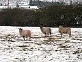 Sheep in a field near Crag House Farm - geograph.org.uk - 1638115.jpg