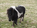 Shetland ponies at Sandwick.jpg