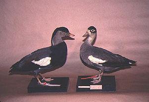 Crested shelduck - Male (left) and female specimens, Kuroda collection, Tokyo, Japan
