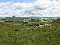 Shorn sheep on Dunsyre Hill - geograph.org.uk - 511441.jpg
