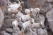 Sierra Nevada Bighorn Sheep Wikipedia