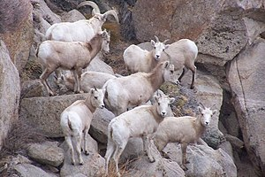 Sierra Nevada bighorn sheep - Ewes and lambs on Wheeler Crest