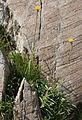 Sierran raillardella Raillardella scaposa.jpg