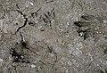 Signs of Castor canadensis (American beaver) (14592704569).jpg