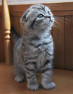 Silver tabby Scottish Fold Kitten.jpg