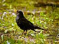 Singing blackbird (17890701890).jpg