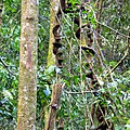 Sinharaja Rain Forest - panoramio (7).jpg
