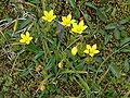 Skaftafell - Gelbe Blüten.jpg
