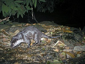 Small-clawed otter from Western Ghats.JPG