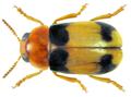 Smaragdina bifasciata Lefèvre, 1872 (8361091761).png