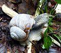 Snail (16295344598).jpg