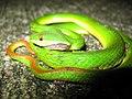 Snake, Sha Tin, 2006.jpg