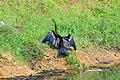 Snake bird (ചേരക്കോഴി) (8708413657).jpg